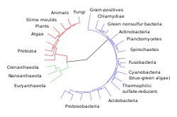 Phylogenetic tree showing the three-domain system