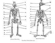 Pierre Belon - The skeletons of birds and humans