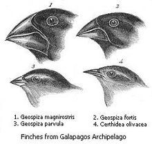 Beak variation in the finches of the Galápagos Islands