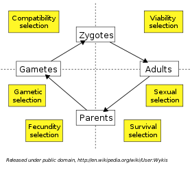 life cycle of a sexually reproducing organism